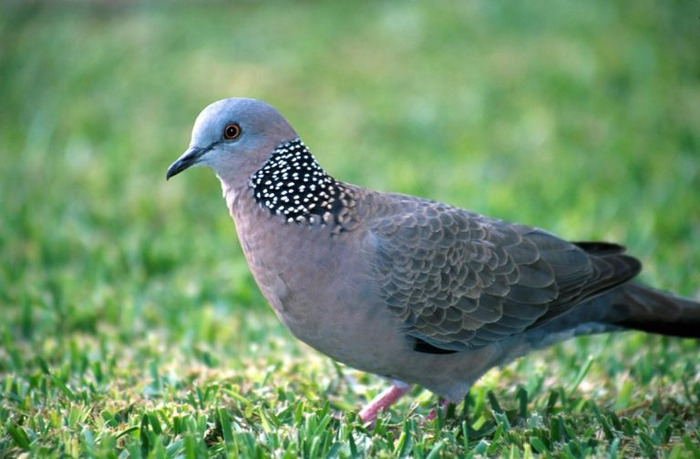 spotted pigeon